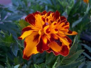 marigold bonanza bolero