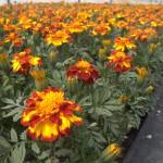 marigold durango bolero