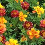 marigold durango mix