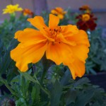 marigold durango orange